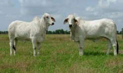 Replacement Females Sired By JJ 919/1